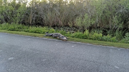 Image alligator